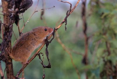 Mouse - Harvest Mouse (Micromys minutus)