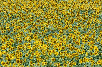 Sunflower - Sunflower (Helianthus annuus)
