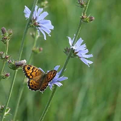 Common chicory - Wall brown (Lasiommata megera)