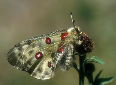 Butterfly - Apollo (Parnassius Apollo): preparing for the first flight.