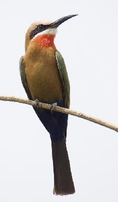 Bird - White-fronted Bee-eater (Merops bullockoides)