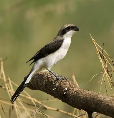 Bird - Grey-backed Fiscal (Lanius excubitoroides)