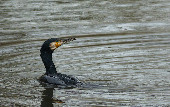 Grand cormoran (Phalocrocorax carbo)